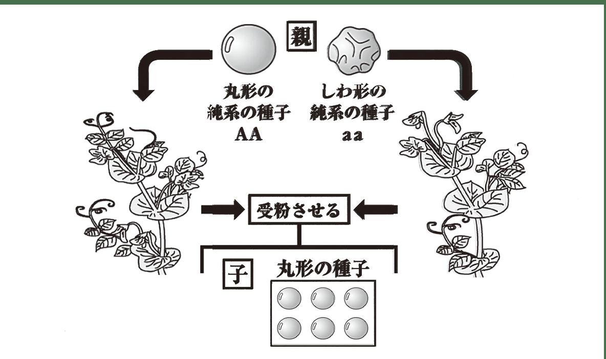 中3 生物8  練習 図のみ表示、問題文不要