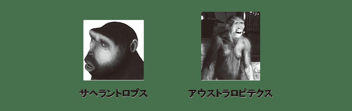 高校 生物 進化10 ポイント2 サヘラントロプス・アウストラロピテクス
