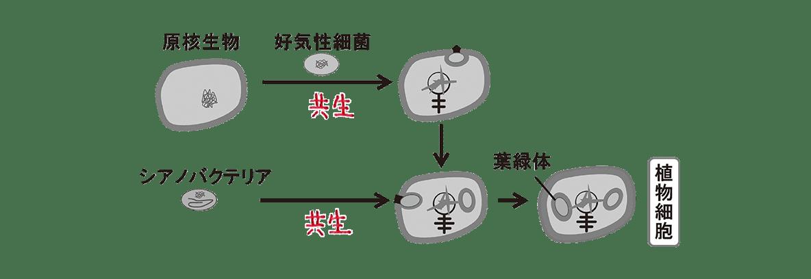 高校 生物 進化4 ポイント2 図、動物細胞の図を抜く