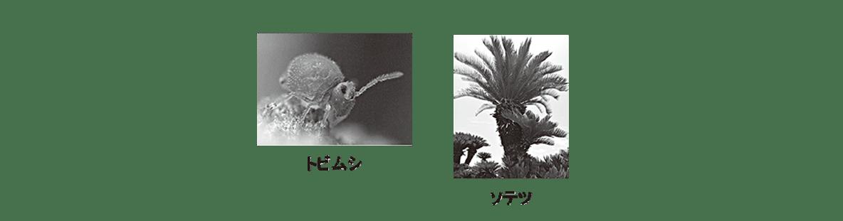 高校 生物 進化6 ポイント3 トビムシ・ソテツ
