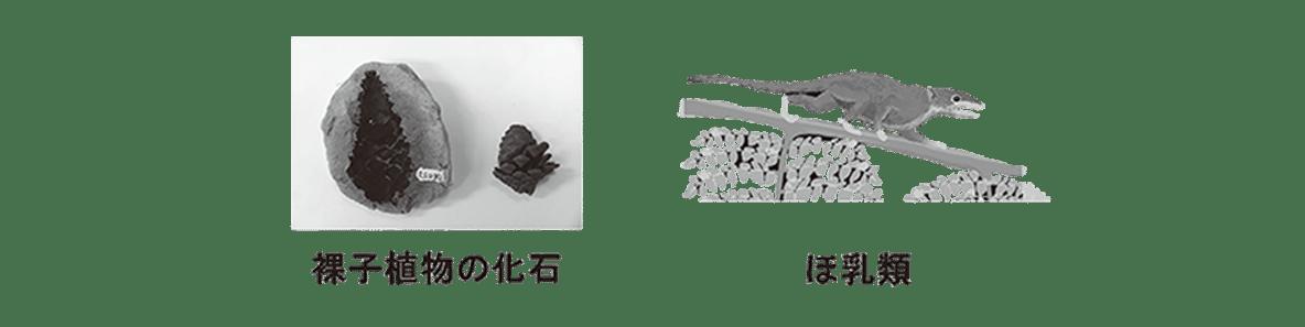 高校 生物 進化8 ポイント3 被子植物の化石・ほ乳類