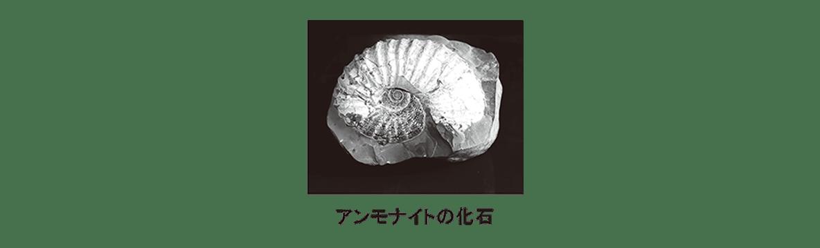 高校 生物 進化9 ポイント3 アンモナイトの化石