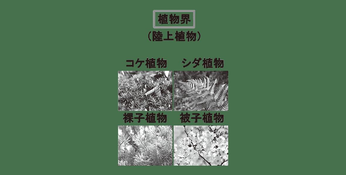 高校 生物 分類6 ポイント1 図のみ(植物界の下の4つの写真ふくむ)