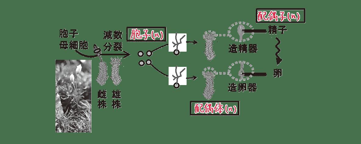 高校 生物 分類6 ポイント2 図のみ、「配偶子(n)」から左の図、一番下の矢印もなし