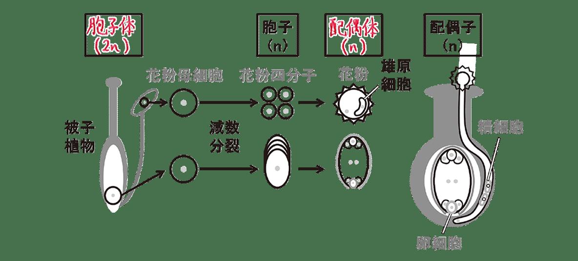 高校 生物 分類7 ポイント2 図のみ、「裸子植物」の文字と右の3つの図をのぞく