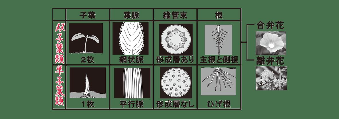 高校 生物 分類7 ポイント3 表と図(右の合弁花、離弁花ふくむ
