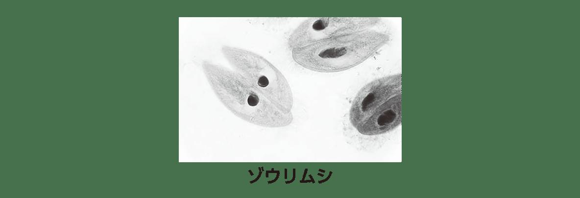 高校 生物 細胞1 ポイント1 ゾウリムシの図