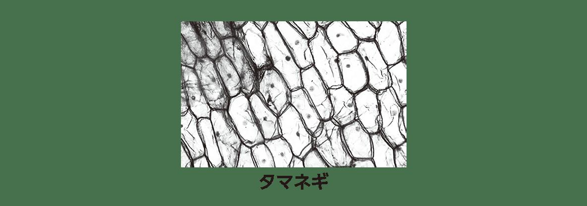 高校 生物 細胞1 ポイント1 タマネギの図