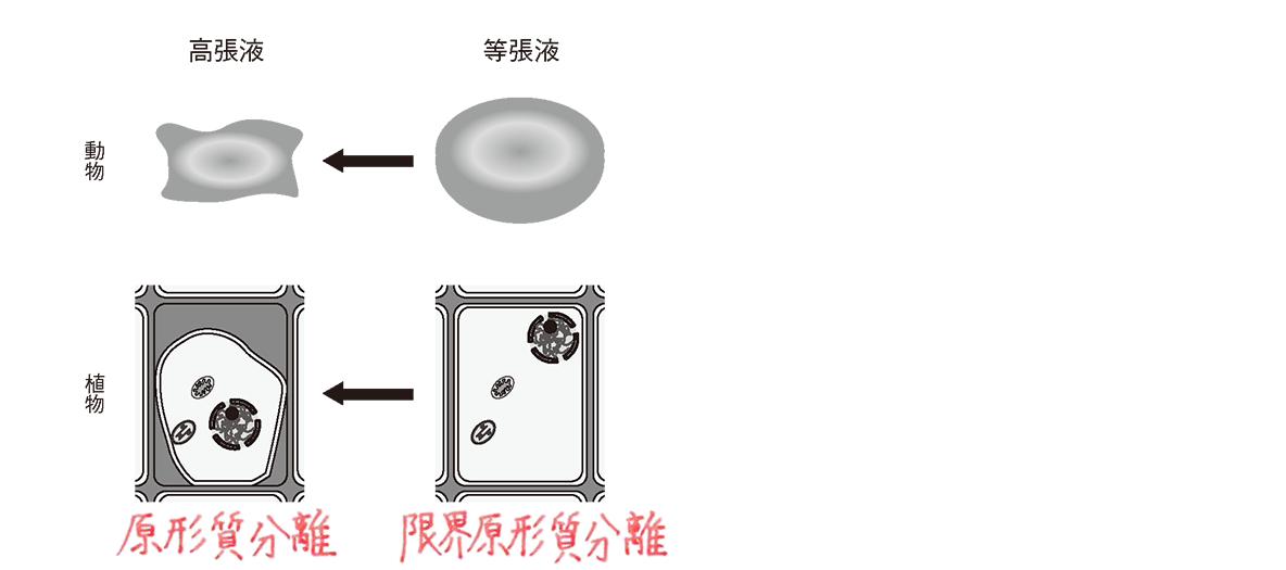 高校 生物 細胞14 ポイント3 図 低張液の図2つカット