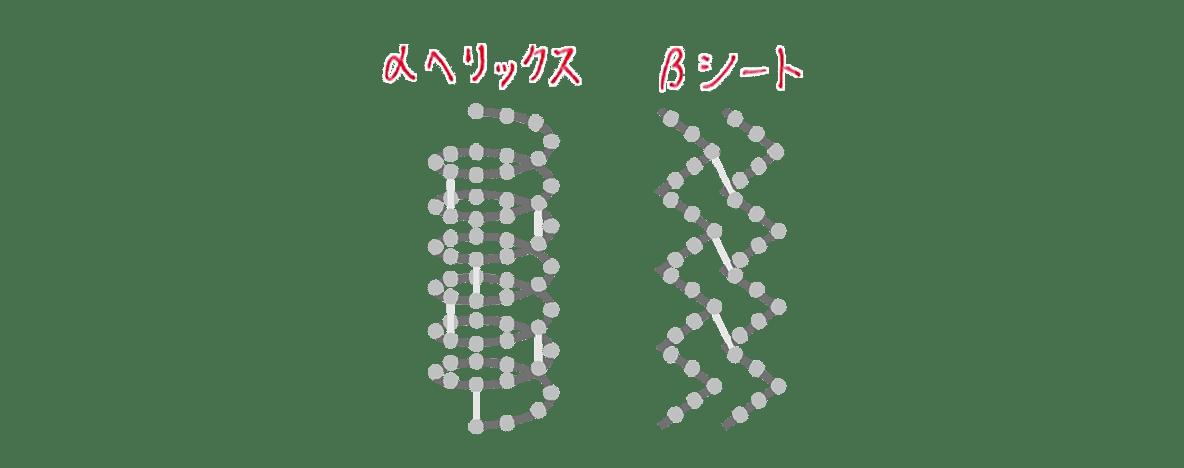 高校 生物 細胞19 ポイント2 αヘリックスとβシートの図