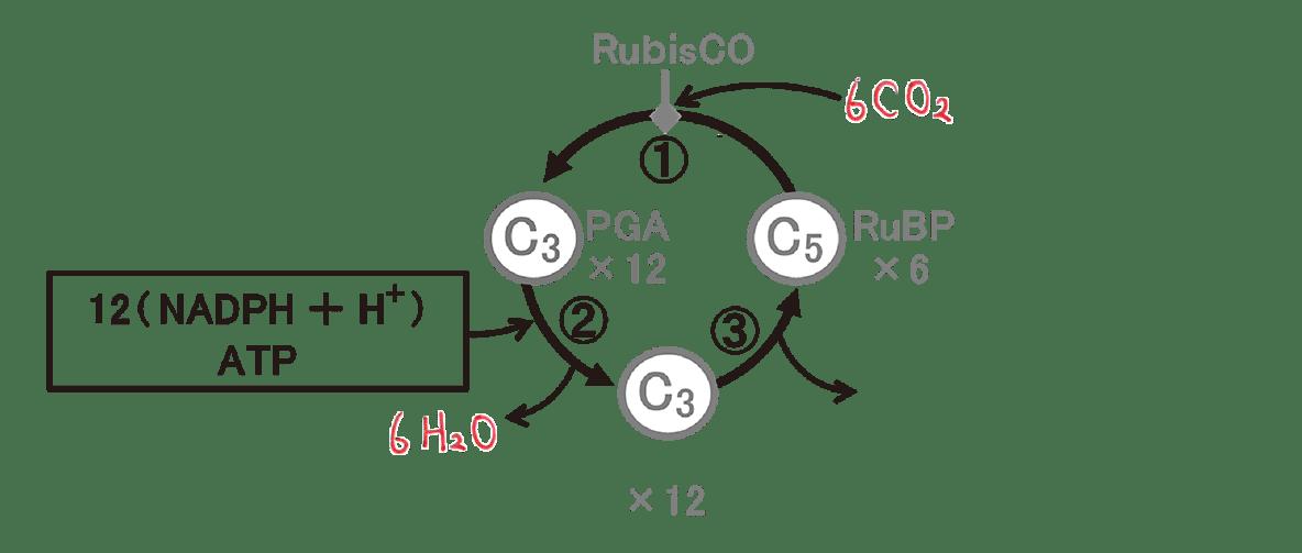 高校 生物 代謝4 ポイント3 図のみ・6CO2とH2Oうめる