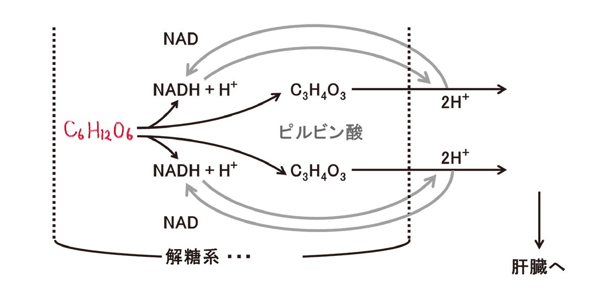高校 生物 代謝15 ポイント2 図のみ、C6H12O6のみうめる
