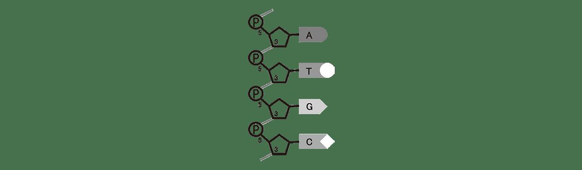 高校 生物 遺伝1 ポイント1 右の図