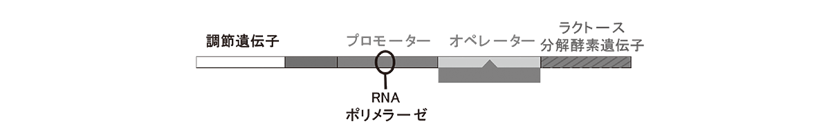 高校 生物 遺伝14 ポイント2 「大腸菌DNA」から右の部分の図・RNAポリメラーゼも含む:矢印などは除く