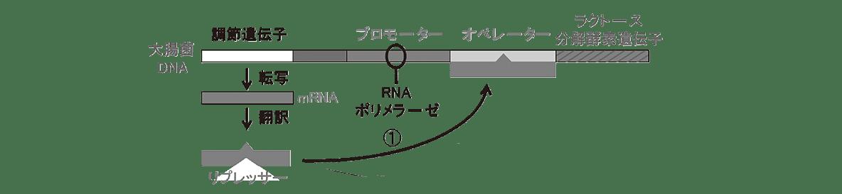 高校 生物 遺伝14 ポイント2 図・image02に「左端の部分(mRNAやリプレッサーなど、①の矢印」を追加