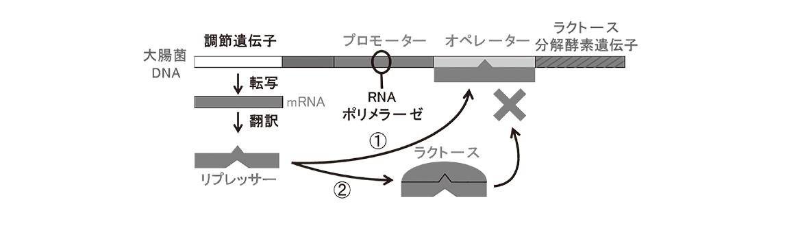 高校 生物 遺伝14 ポイント2 図・image02に「左端の部分(mRNAやリプレッサーなど、②の矢印とラクトースと×」を追加