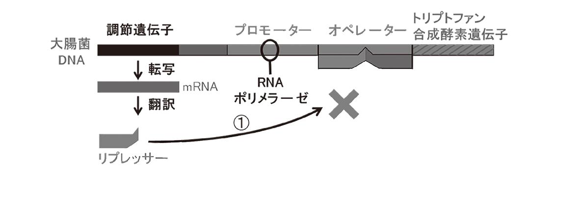 高校 生物 遺伝15 ポイント2 図・②と矢印とその右の構造物とその上の矢印を除く
