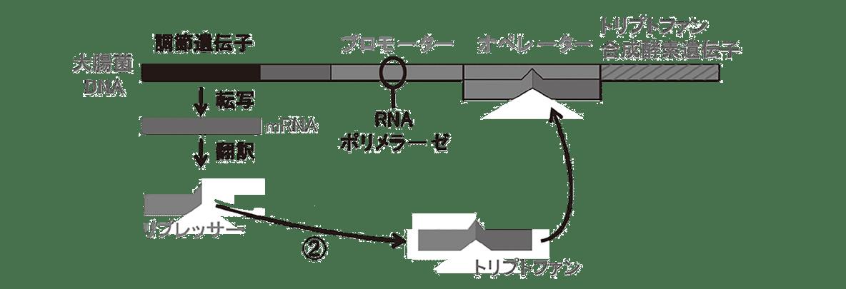 高校 生物 遺伝15 ポイント2 図・①と矢印、トリプトファン合成酵素遺伝子の下に描かれた、矢印と転写から下すべて、除く