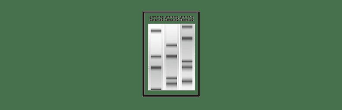 高校 生物 遺伝19 ポイント2 右のゲルの図