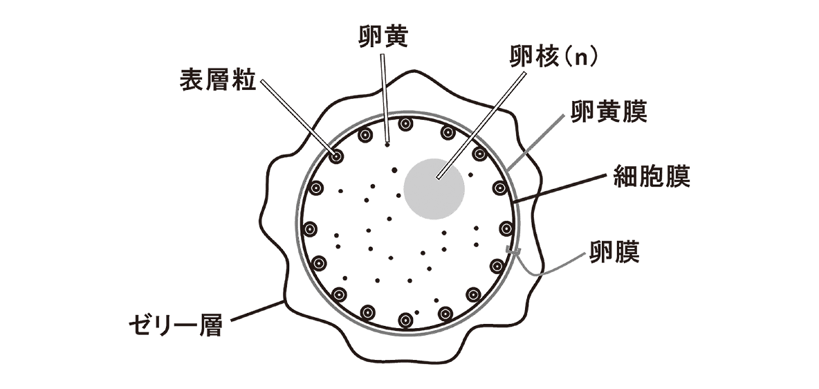 高校 生物 生殖10 ポイント3 図