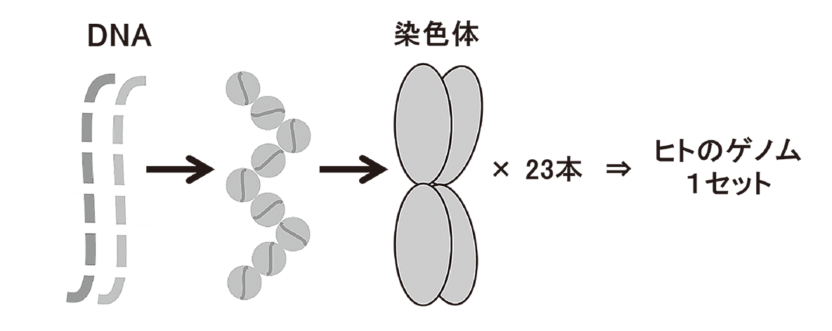 高校 生物 生殖3 ポイント1 図