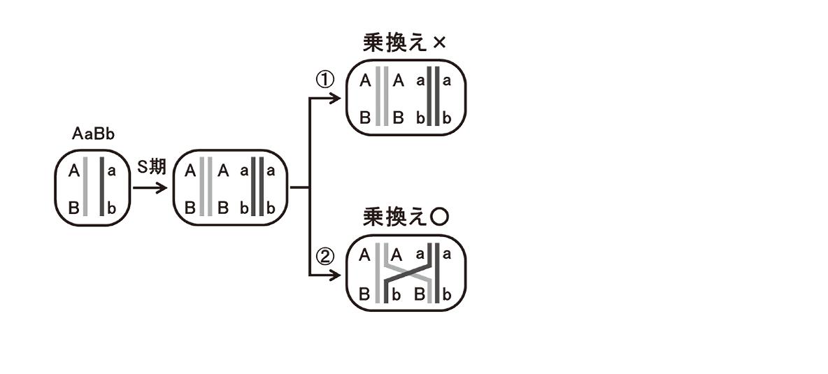 高校 生物 生殖6 ポイント3 左から第一分裂の4つの細胞までの図