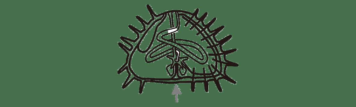 高校 生物 動物の発生5 練習 練習(4)・ウニの図