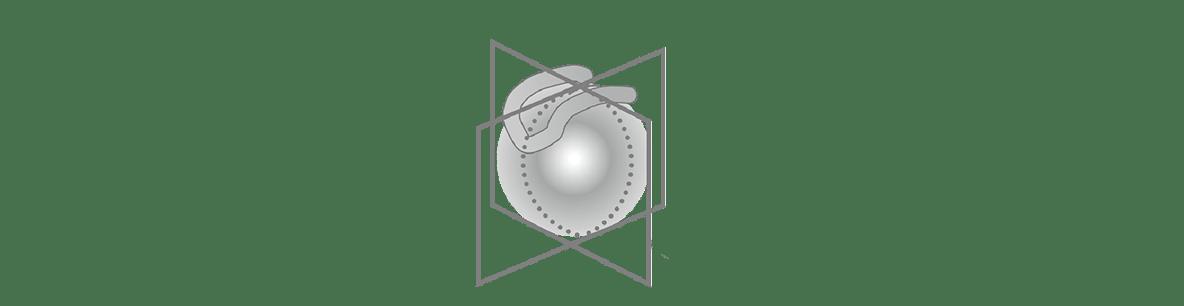 高校 生物 動物の発生7 ポイント3 一番左の胚の図