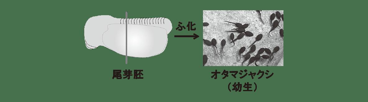 高校 生物 動物の発生8 ポイント2 尾芽胚から幼生の図