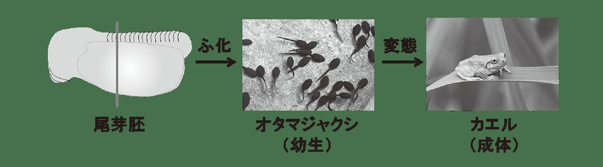 高校 生物 動物の発生8 ポイント2 尾芽胚から成体の図