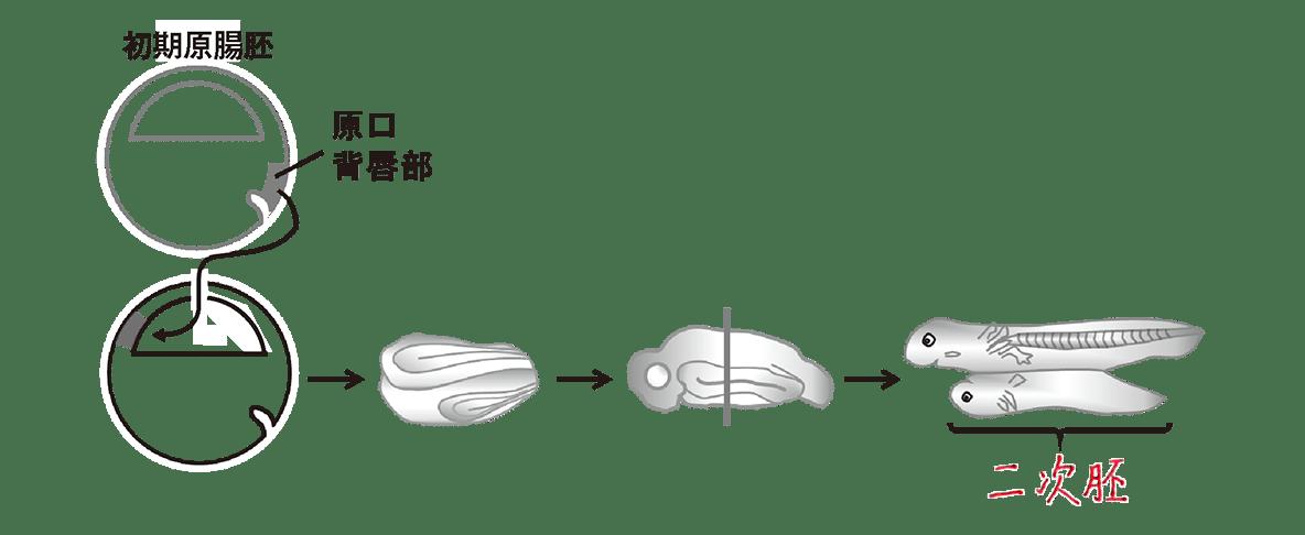 高校 生物 動物の発生19 ポイント2 図、右上の断面図除く