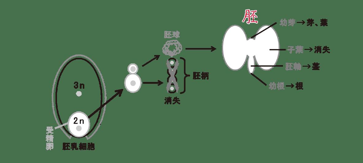高校 生物 植物の発生4 ポイント2 左の胚のうの図と、右上の胚形成のプロセスの図・すべてうめる