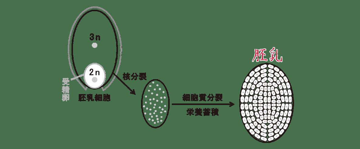 高校 生物 植物の発生4 ポイント2 左の胚のうの図と、右下の胚乳形成のプロセスの図・すべてうめる
