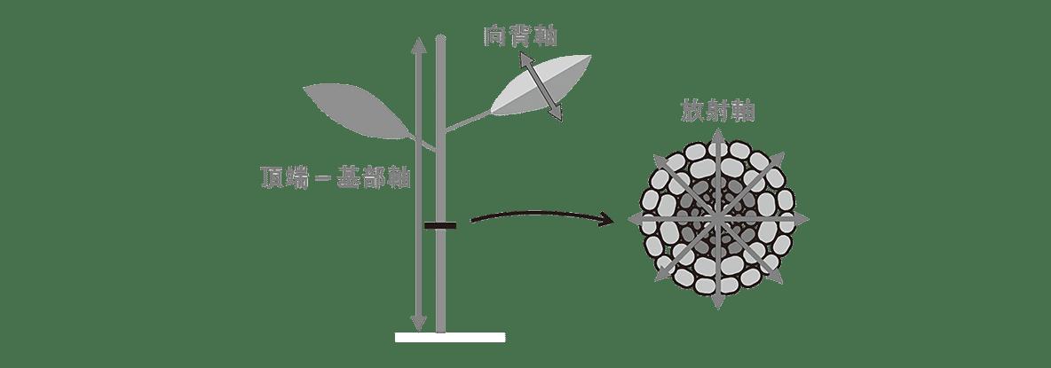 高校 生物 植物の発生5 ポイント1 図