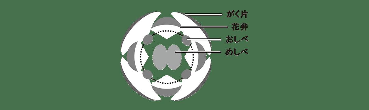 高校 生物 植物の発生5 ポイント2 縦に4つ並んだ矢印よりも左の図のみ