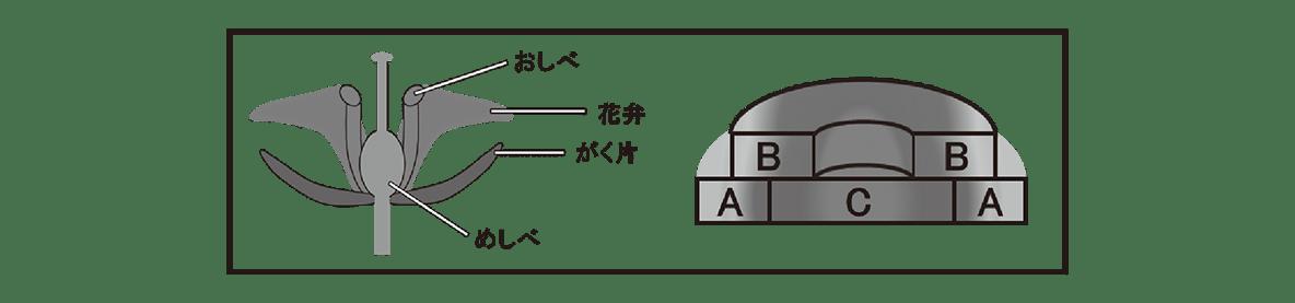 高校 生物 植物の発生5 練習 黒枠で囲まれた図(黒枠もあり)