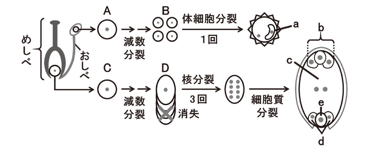 高校 生物 植物の発生6 演習1 演習1・図