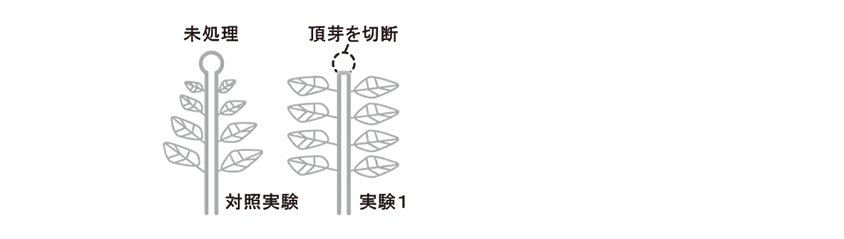 高校 生物 植物生理6 ポイント3 対照実験の図・実験1の図