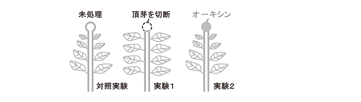 高校 生物 植物生理6 ポイント3 対照実験の図~実験2の図
