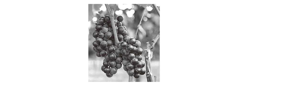 高校 生物 植物生理7 ポイント2 ブドウの写真