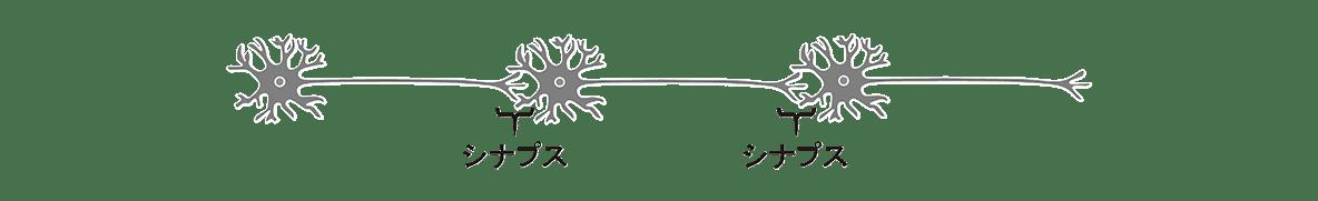 高校 生物 動物生理15 ポイント1 図・3つ並んだ神経細胞とシナプスの記述のみ