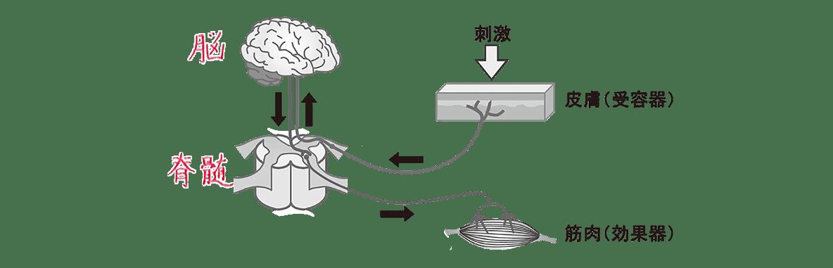 高校 生物 動物生理17 ポイント1 図・感覚神経と運動神経の文字消す