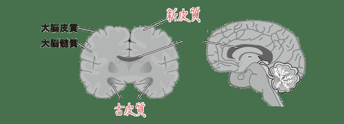 高校 生物 動物生理19 ポイント2 図・脳梁の字消す