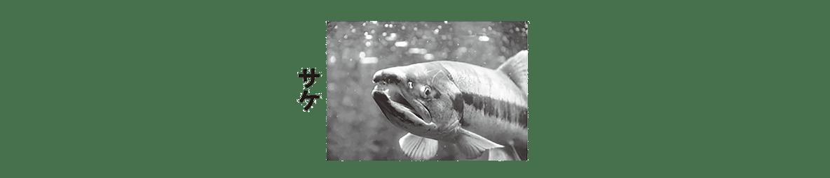 高校 生物 動物生理27 ポイント2 サケの写真