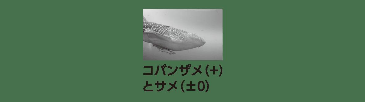 高校 生物 個体群10 ポイント2 コバンザメとサメの写真