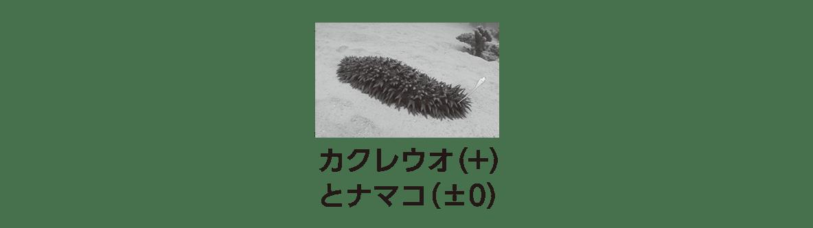 高校 生物 個体群10 ポイント2 カクレウオとナマコの写真