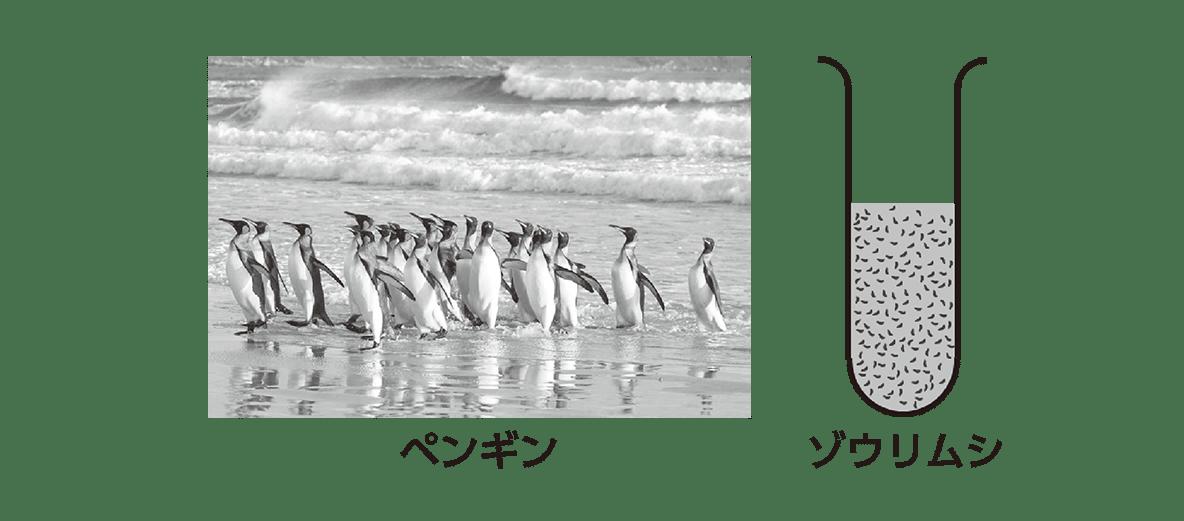 高校 生物 個体群1 ポイント1 ペンギンの写真とゾウリムシの図