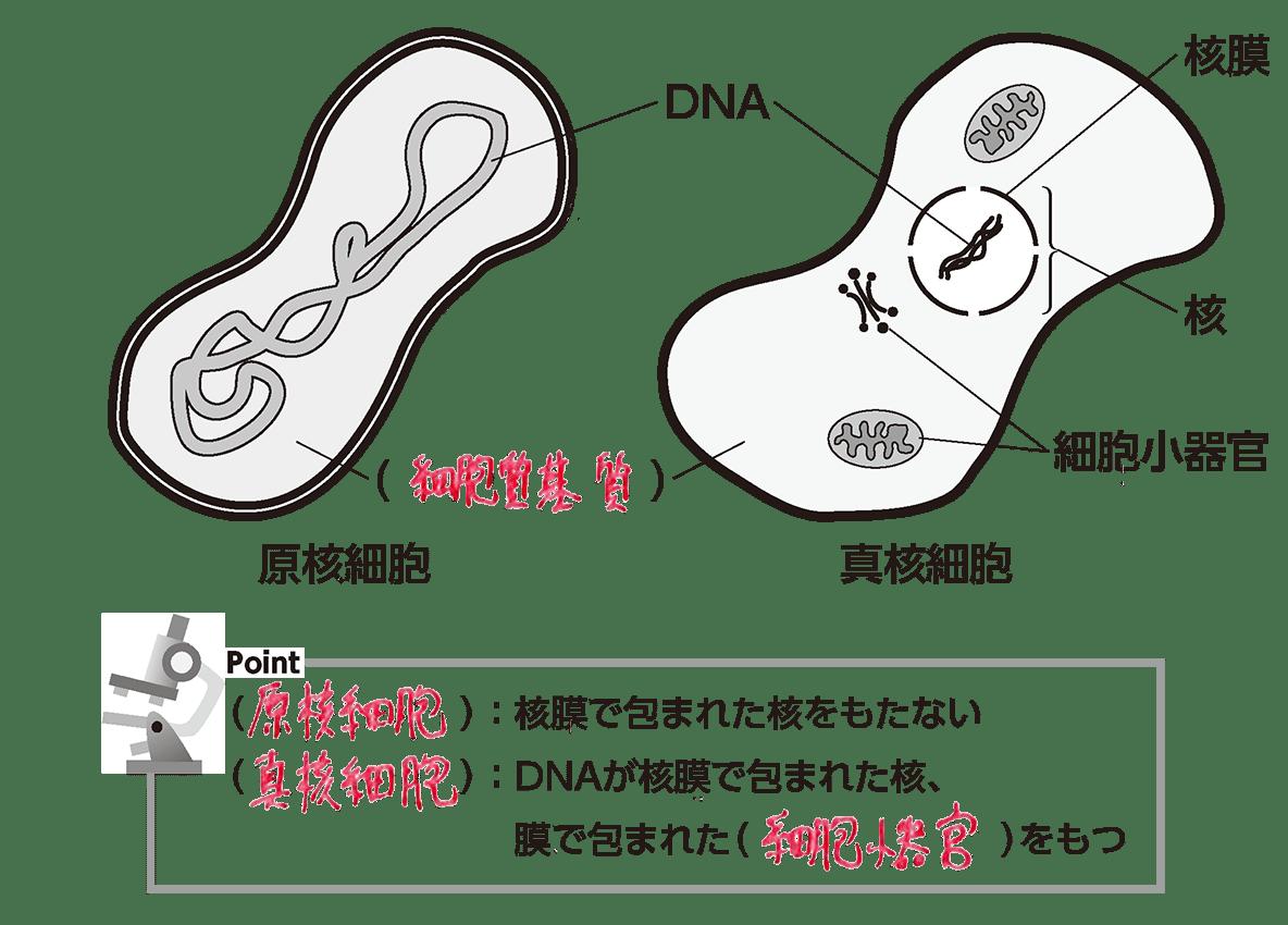 高校 生物基礎 細胞6 ポイント2 答え入り