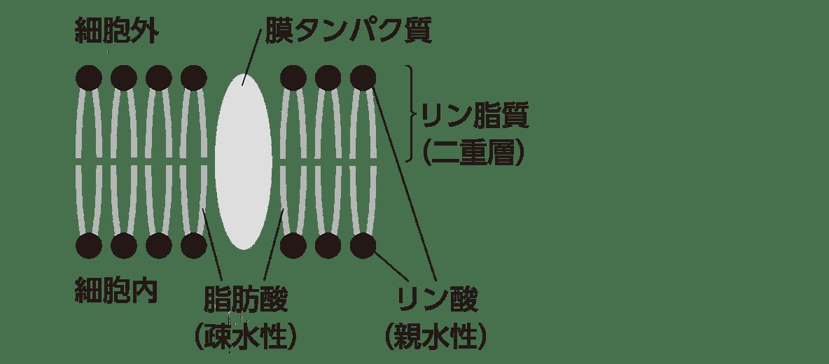 高校 生物基礎 細胞8 ポイント2 左の図のみ