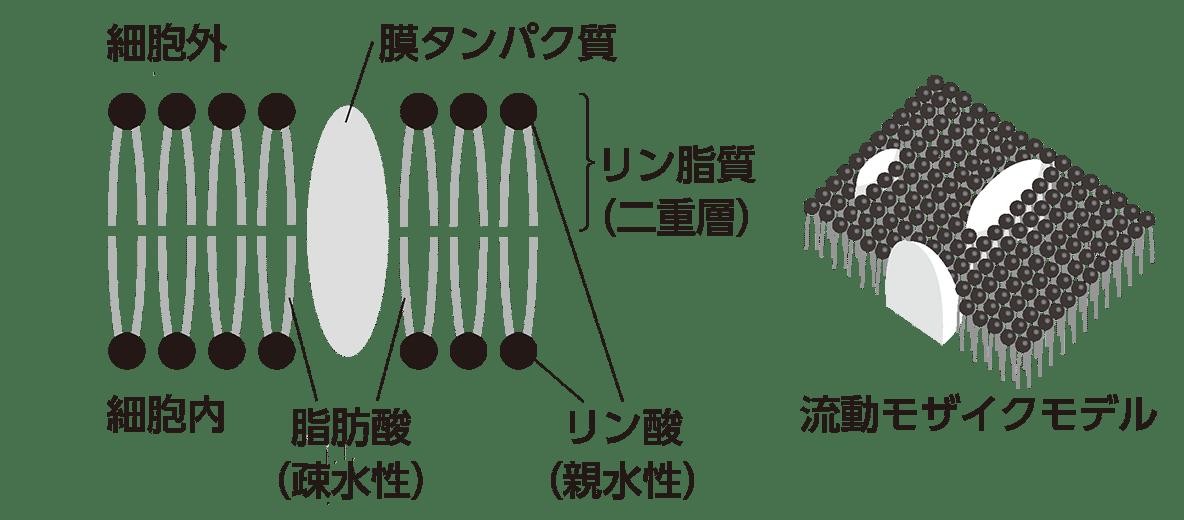 高校 生物基礎 細胞8 ポイント2 左右の図